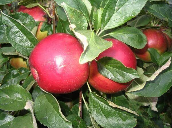 Brkinska jabolka