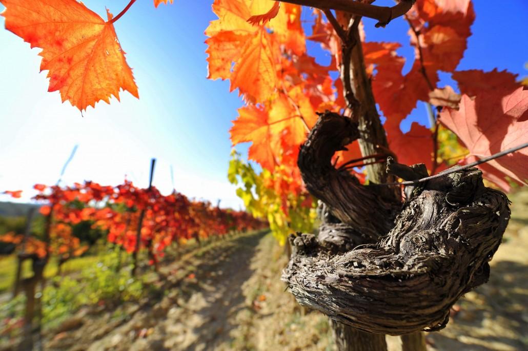 Kraški vinograd