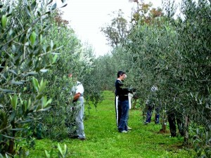Obiranje oljk