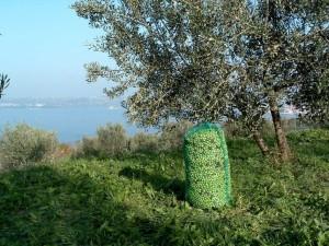 Obiranj oljk v Slovenski Istri