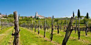 vinogradi-v-goriskih-brdih